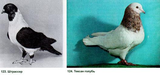 Мясные голуби - все о них 222
