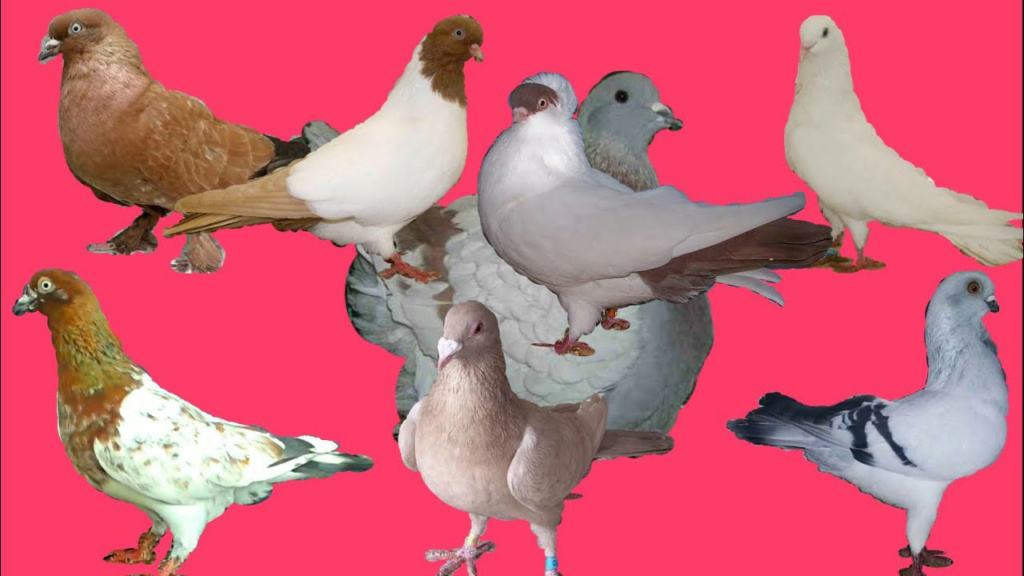 Записки голубевода 23610