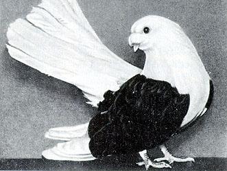 Цветнобокие статные голуби 313