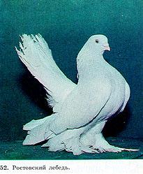 Одноцветные статные голуби 314