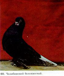 Пестрые статные голуби 315