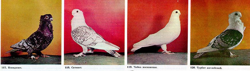 Чайки - голуби 319