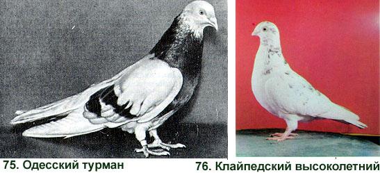 ВЫСОКОЛЕТНЫЕ ГОЛУБИ 416
