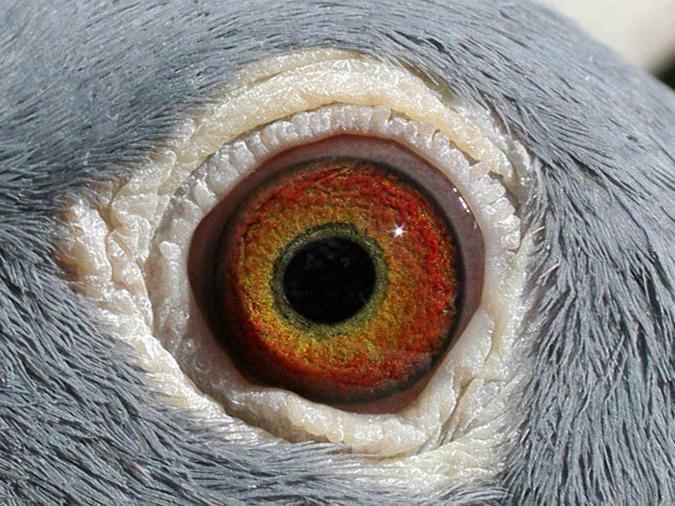 Глаза голубя 72510