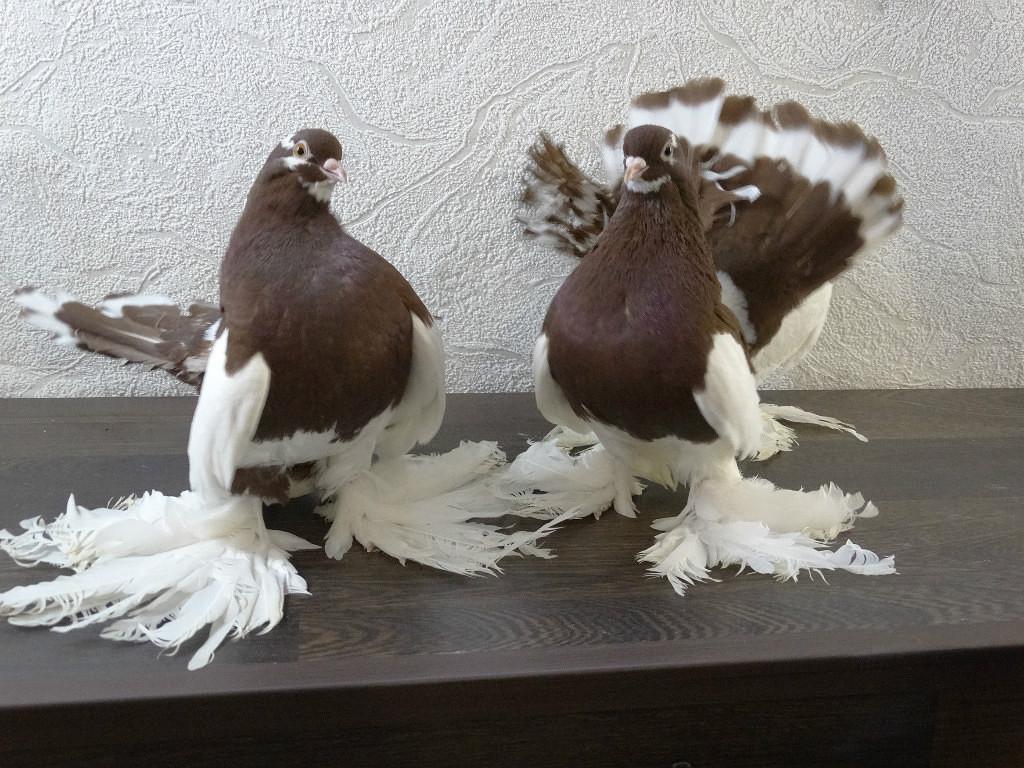 Статные голуби 9c11