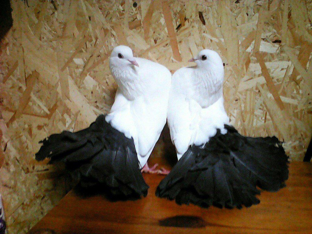 Любовь к голубям 9c13