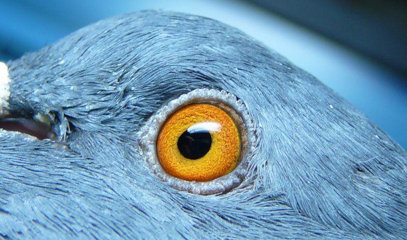 Глаза голубя Udivit10