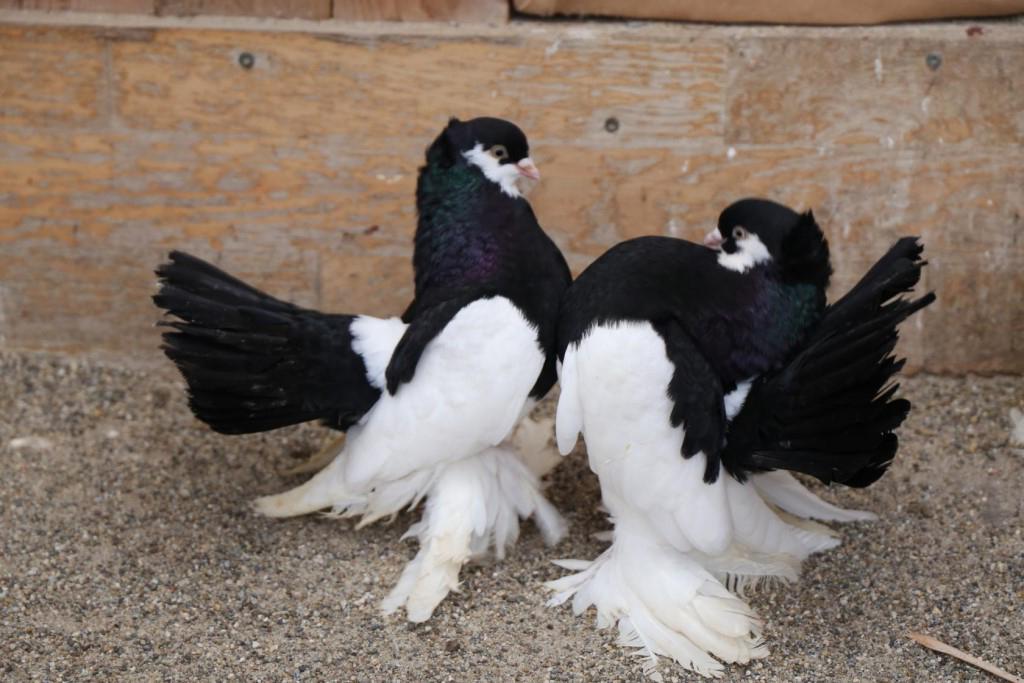 Статные голуби Unname10