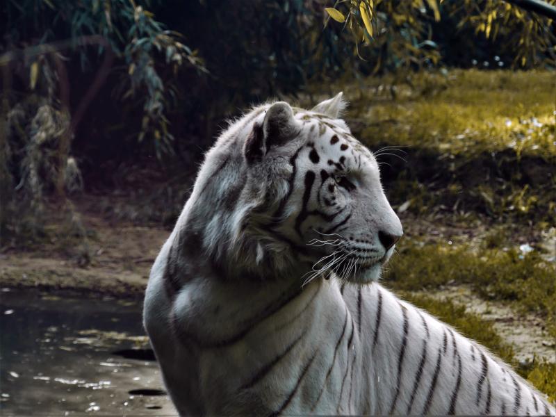 Graou (FZ 300) Tigre211