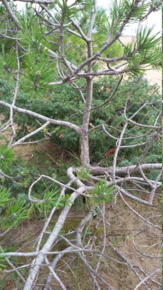 Pinus nigra. 20180910
