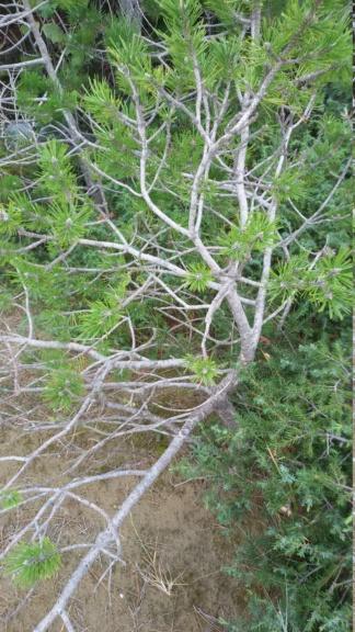 Pinus nigra. 20180911