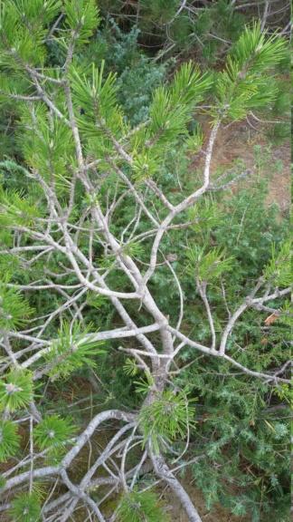 Pinus nigra. 20180912