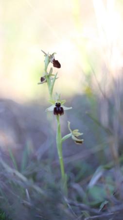 Ophrys de l'Hérault Qu9a6710