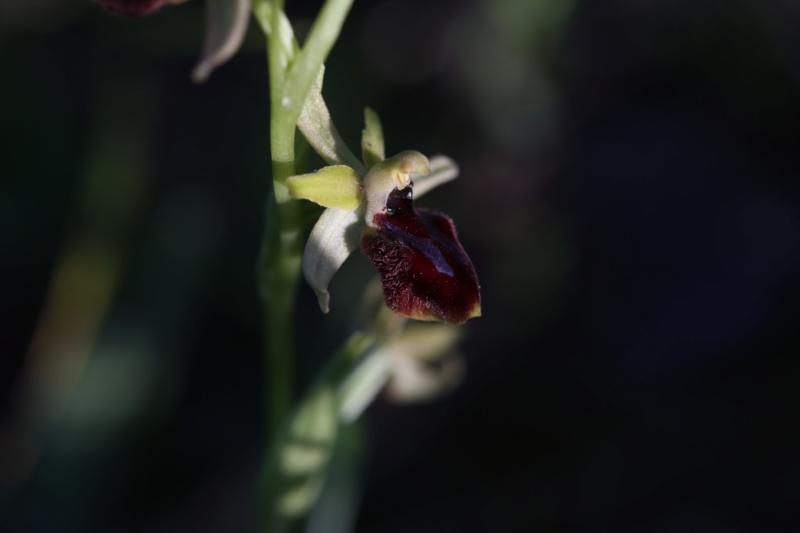 Ophrys de l'Hérault Qu9a6711