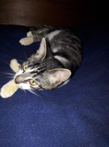 Pinpin, mâle type européen tigré et blanc né 1er juillet 2018 54377110