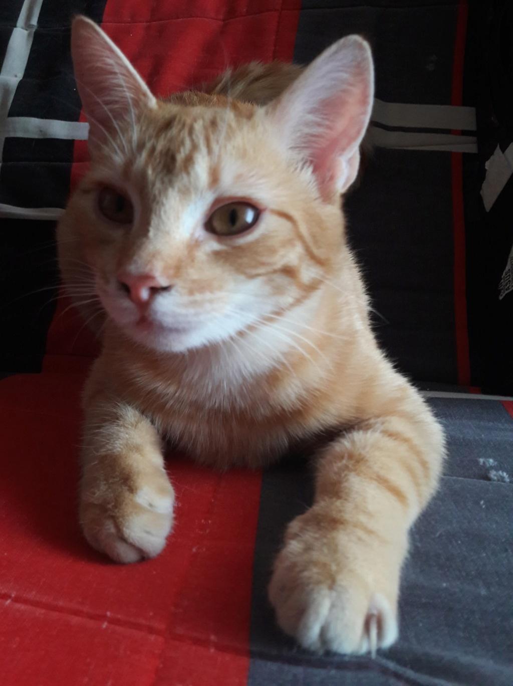 Rourou, mâle type européen roux né 1er juillet 2018 56448910