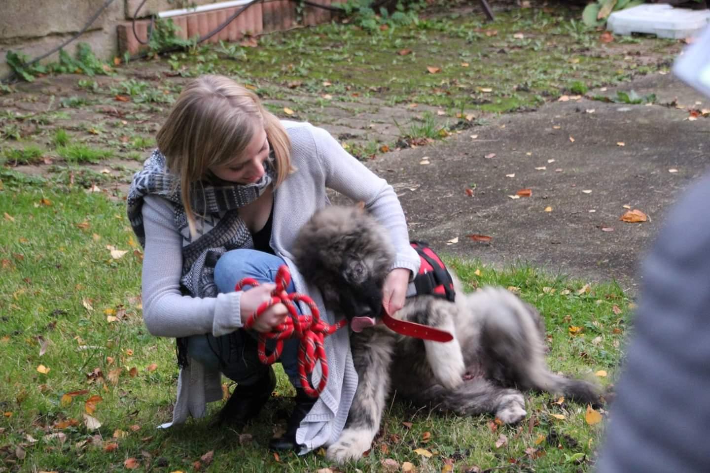 SHANA (ex AKELA) - chiot femelle Berger Roumain de Bucovine aveugle, né 08/2016, grande taille - adoptée par Fabien et Mélanie (depart27) - Page 3 Fb_img20