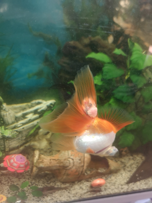 Maladie poisson japonnais Img_2012