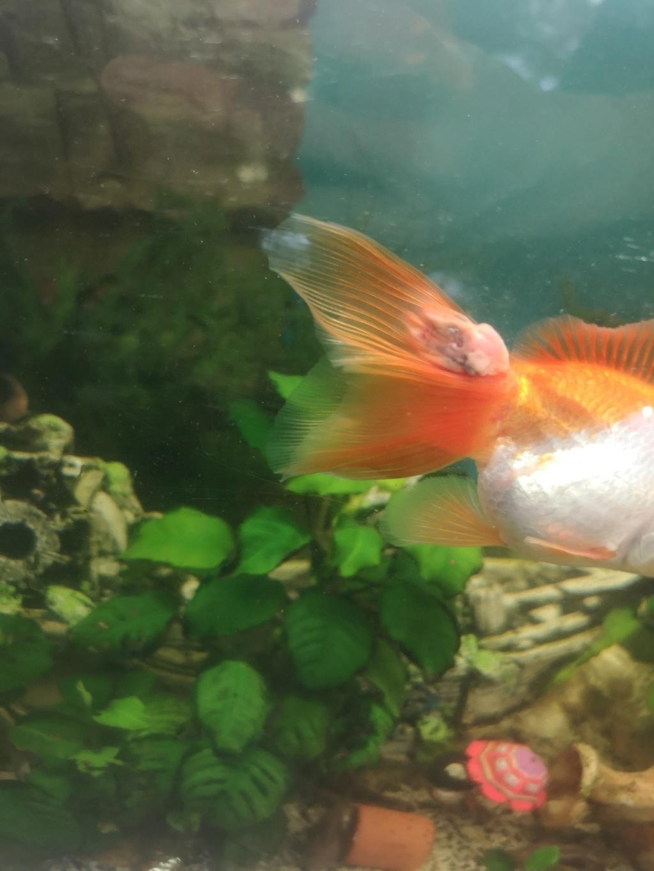 Maladie poisson japonnais Img_2013