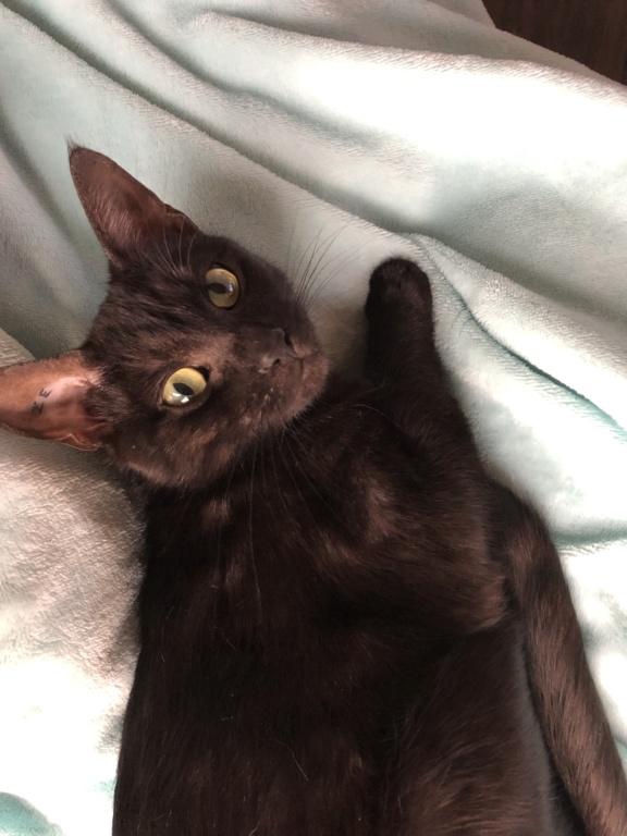 Owlie, petite chatte smoke née le 01/09/2018 23c40310