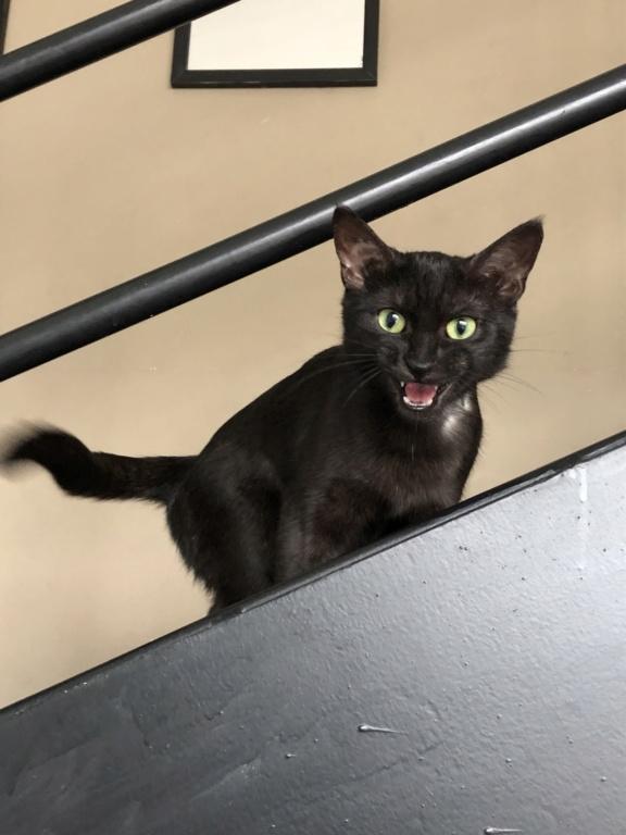 Owlie, petite chatte smoke née le 01/09/2018 7976e010