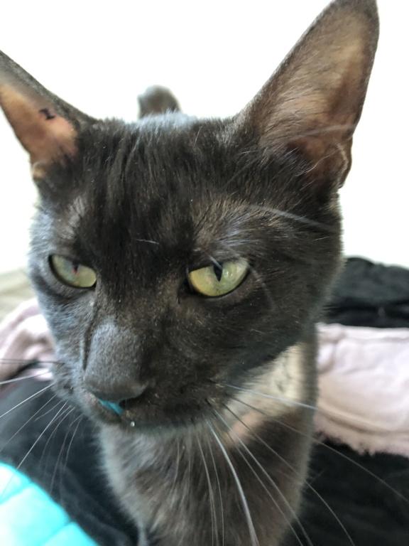 Owlie, petite chatte smoke née le 01/09/2018 7f00b910