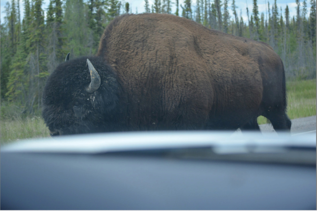 Voyage Yukon et TNO - Page 6 Bison_10