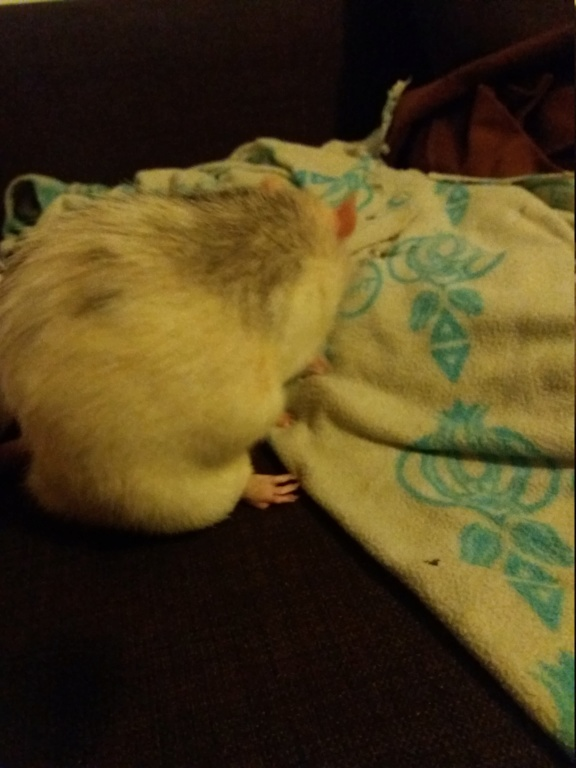 Comment faire maigrir mon rat ? 20180910