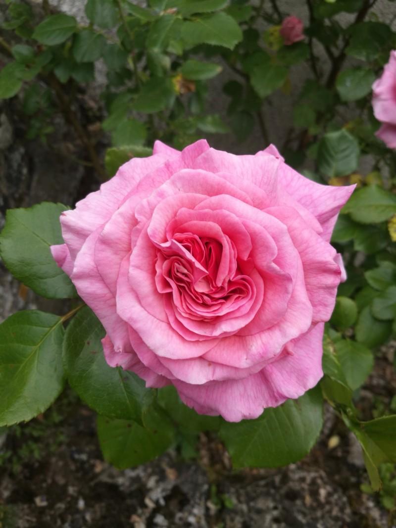 La couleur des roses... 20190615
