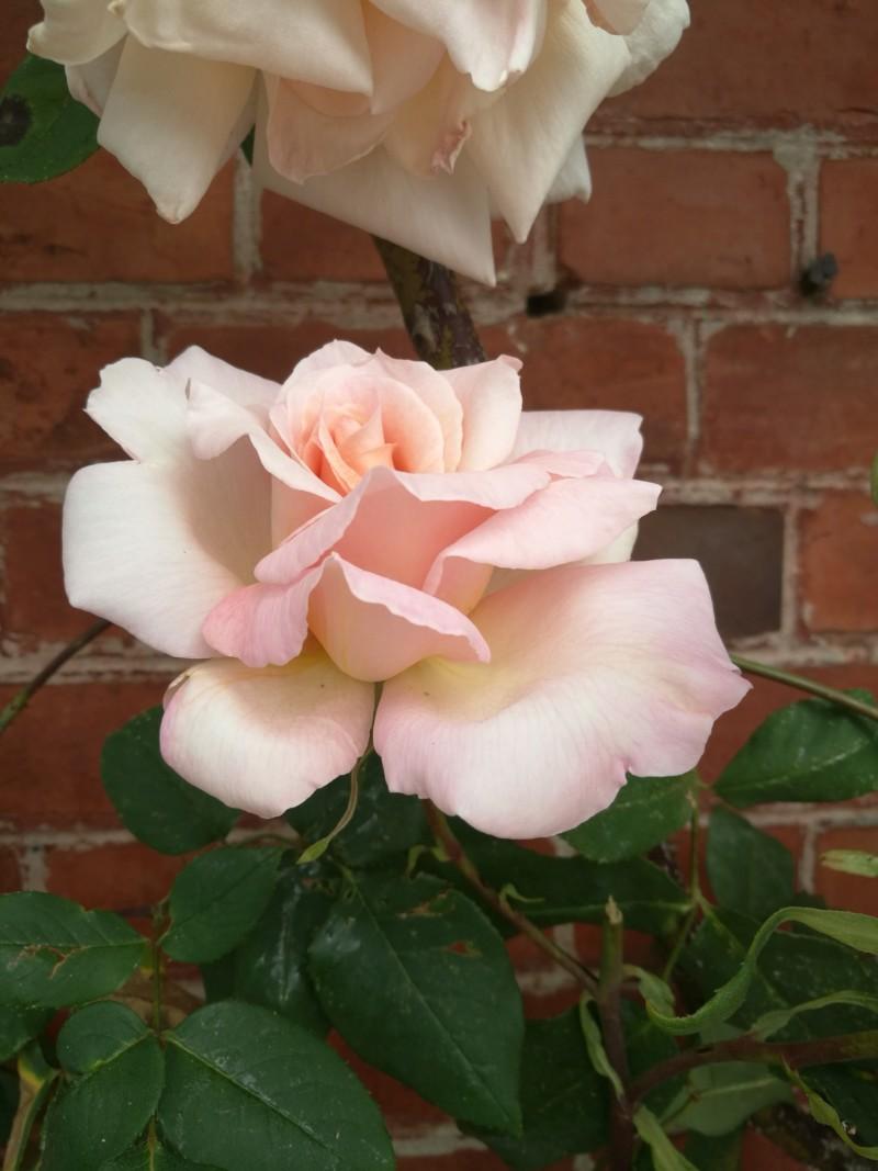 La couleur des roses... 20190616