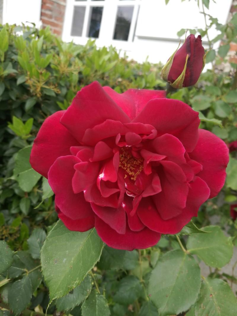 La couleur des roses... 20190618