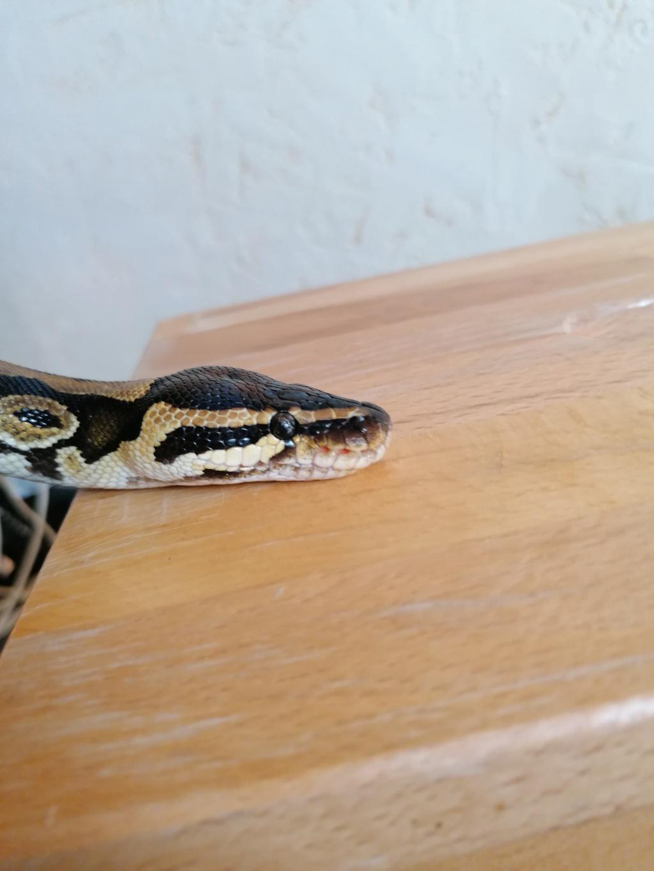 Fossettes thermosensible python Regius Img_2141