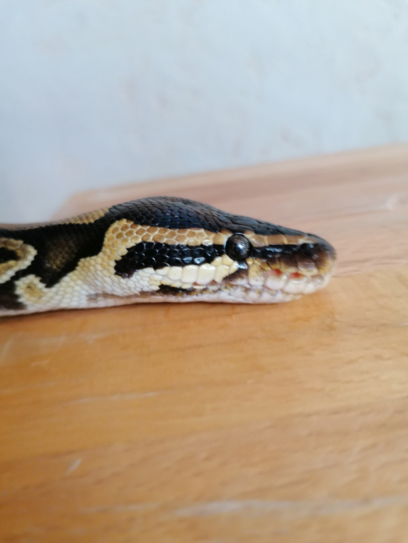 Fossettes thermosensible python Regius Img_2142