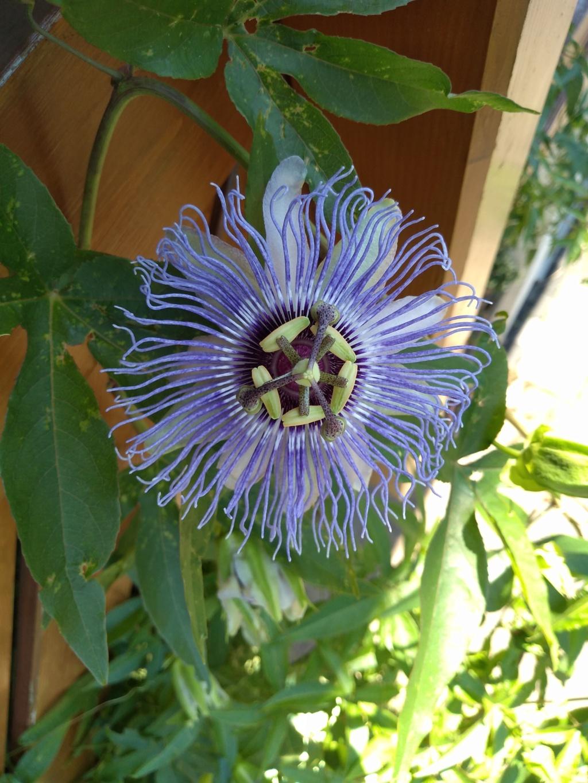 """Passiflora - Passionsblume - kleine """"Juwelen"""" - alles über Aussaat, Pflege, Vermehrung und natürlich Blütenbilder :) - Seite 34 Img_2124"""