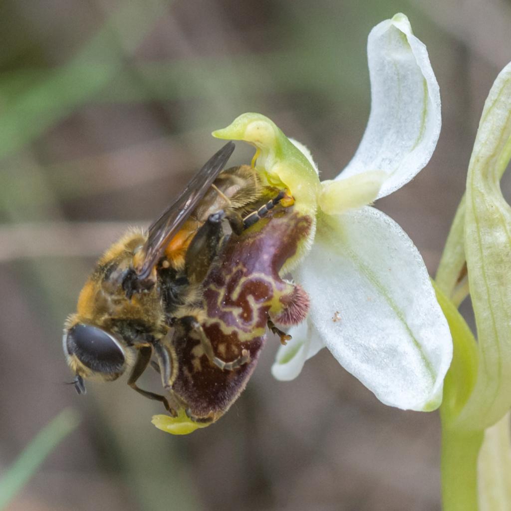 Ophrys philippi et pollinisateur  _dsc3512