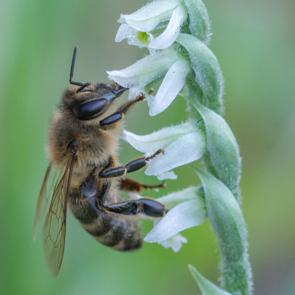 Spiranthe du Var et abeille domestique _dsc5910