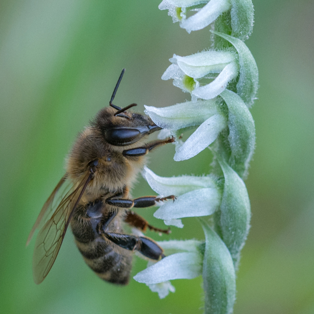 Spiranthe du Var et abeille domestique _dsc5911