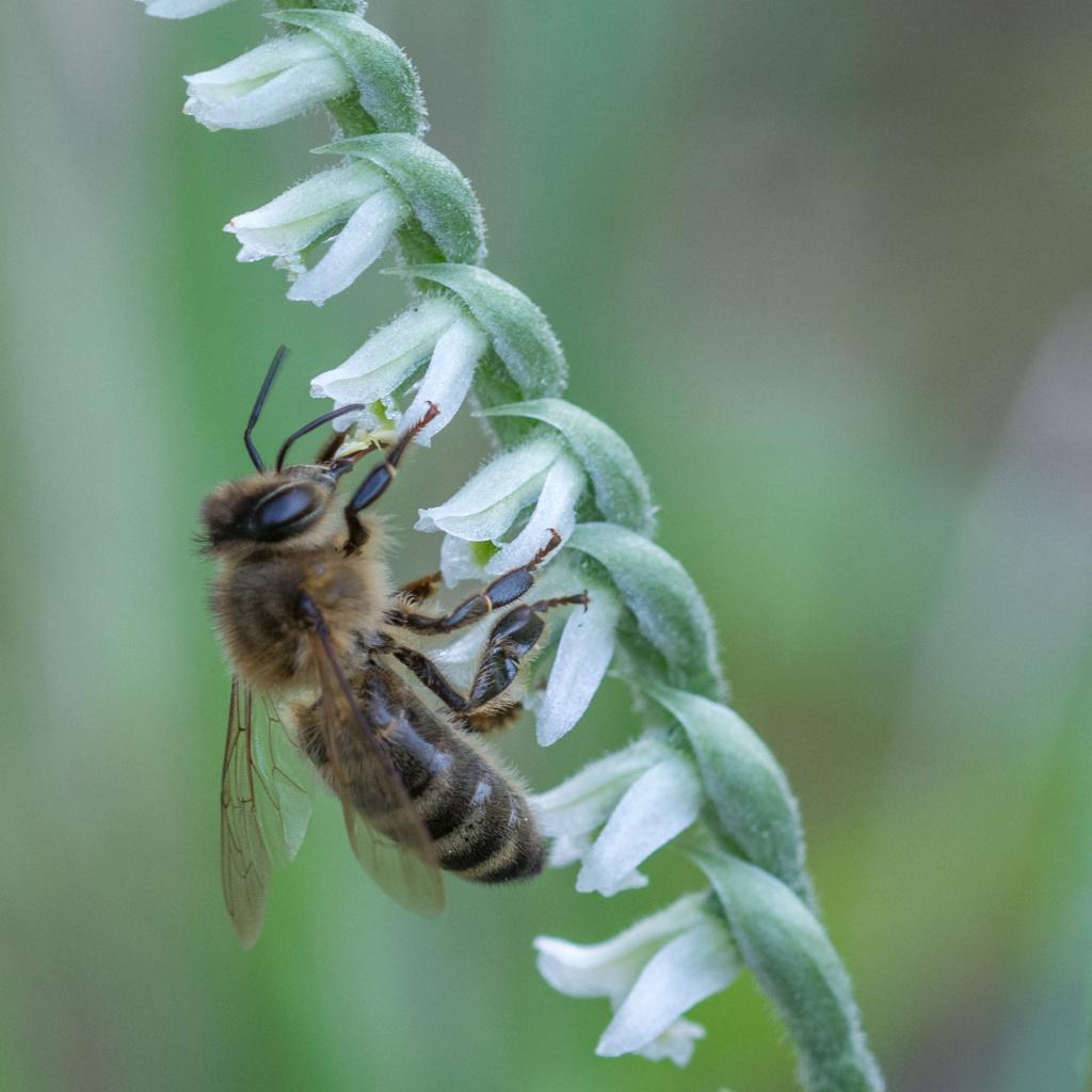 Spiranthe du Var et abeille domestique _dsc5912