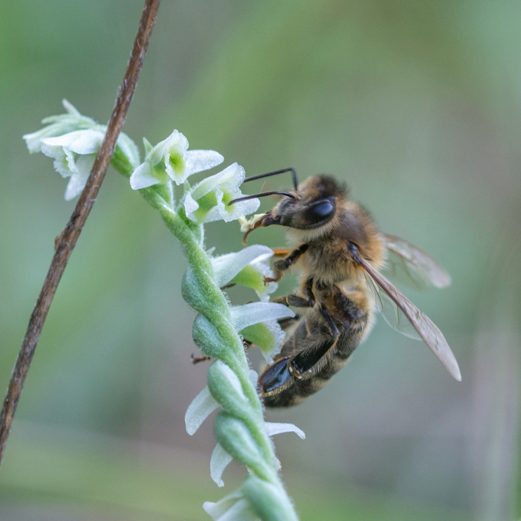 Spiranthe du Var et abeille domestique _dsc5913