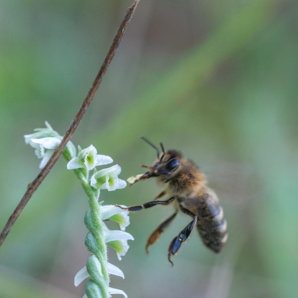 Spiranthe du Var et abeille domestique _dsc5914