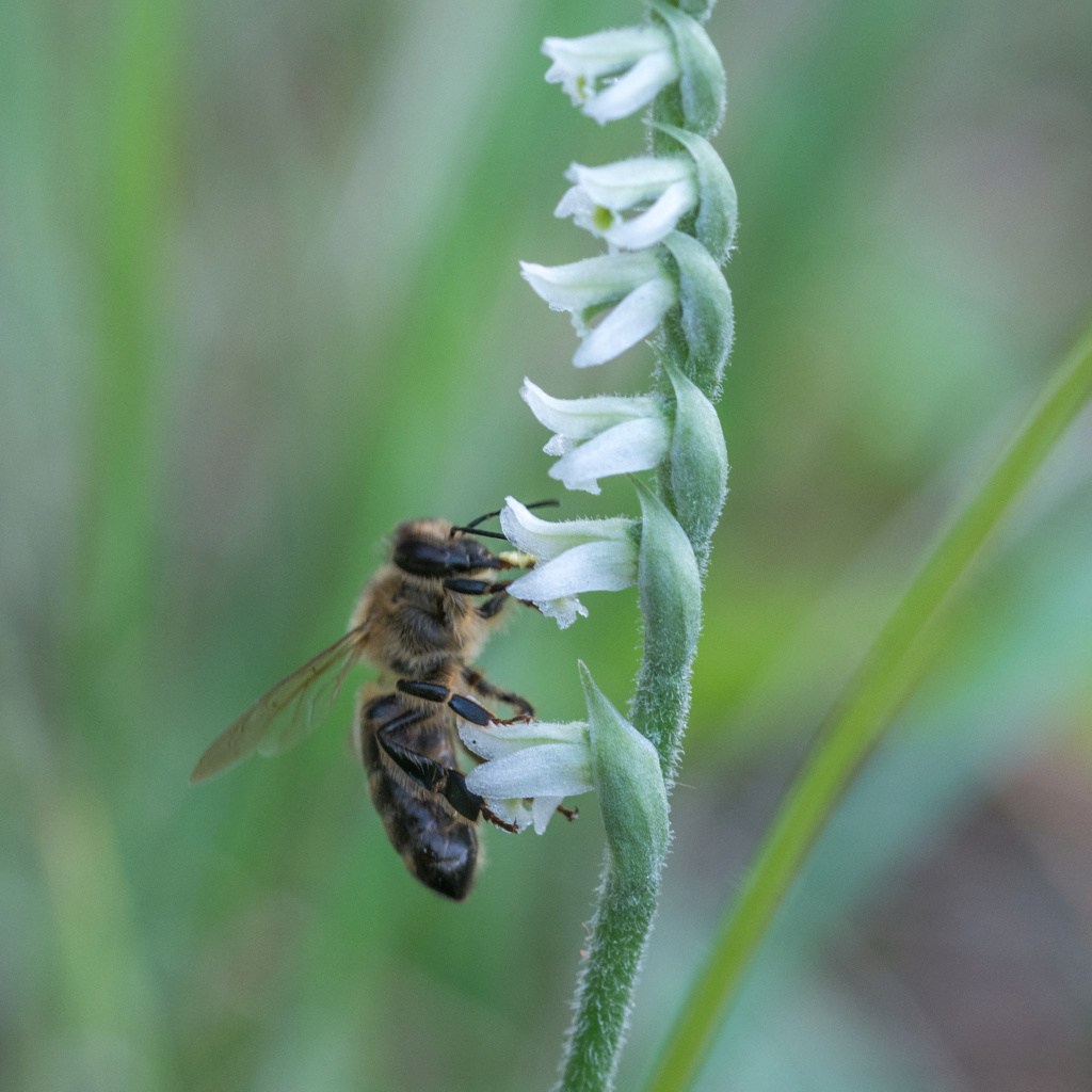 Spiranthe du Var et abeille domestique _dsc5915