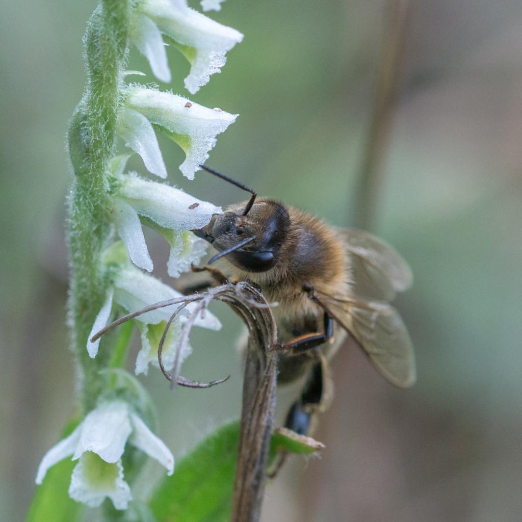 Spiranthe du Var et abeille domestique _dsc5916