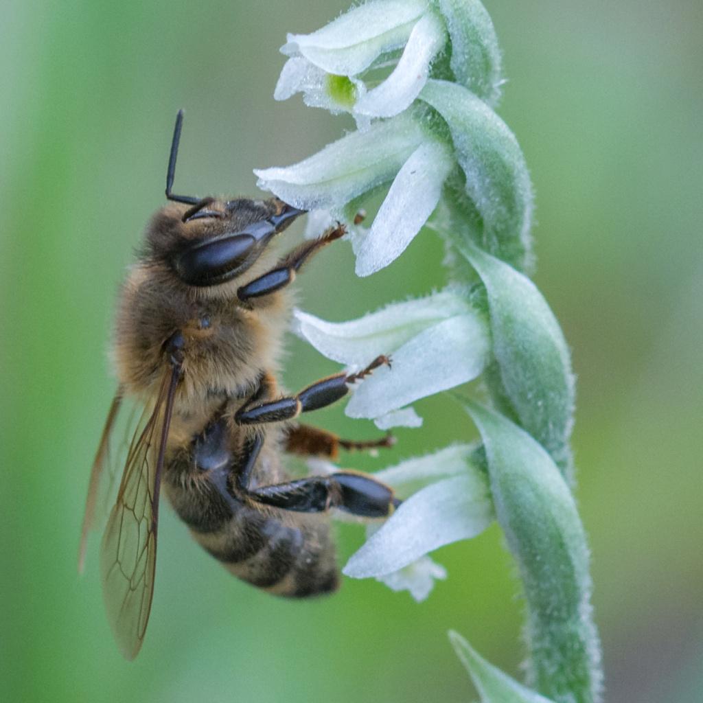 Spiranthe du Var et abeille domestique _dsc5917