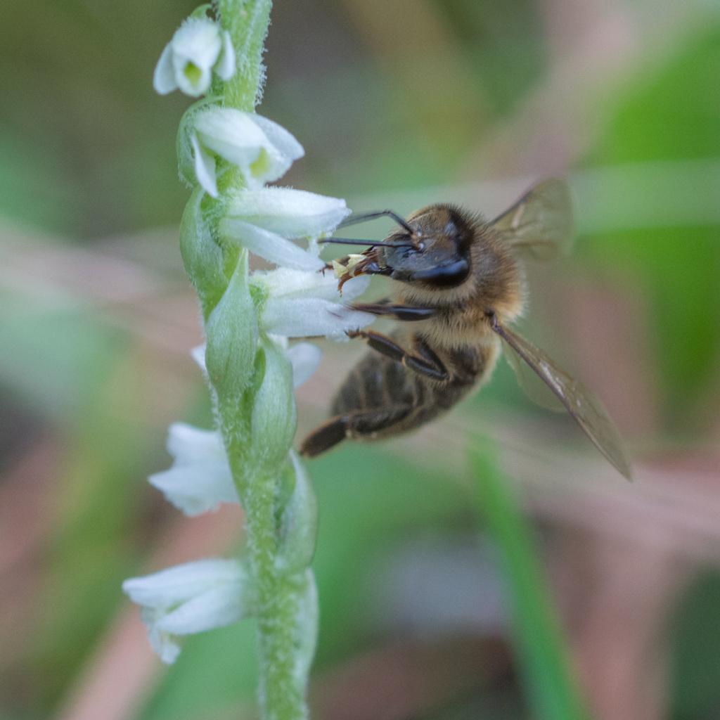 Spiranthe du Var et abeille domestique _dsc6012