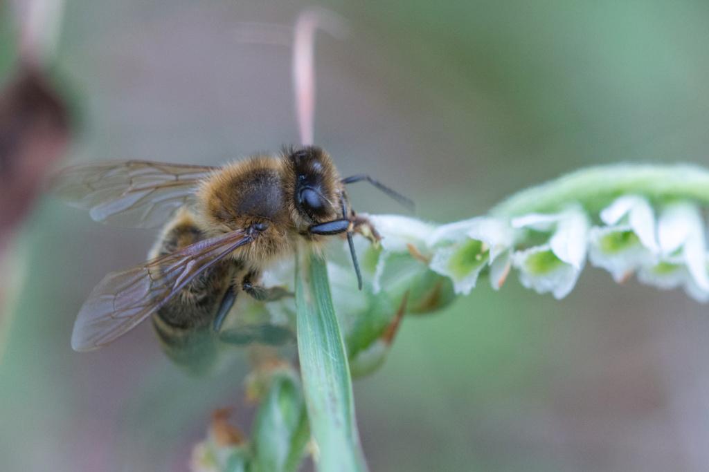 Spiranthe du Var et abeille domestique _dsc6013