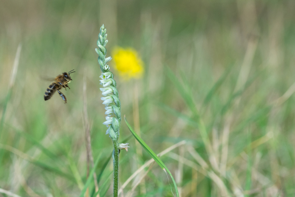 Spiranthe du Var et abeille domestique _dsc6110