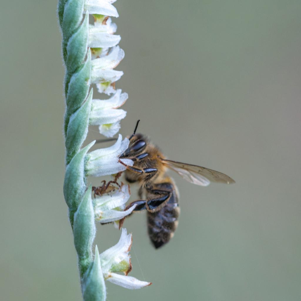 Spiranthe du Var et abeille domestique _dsc6113
