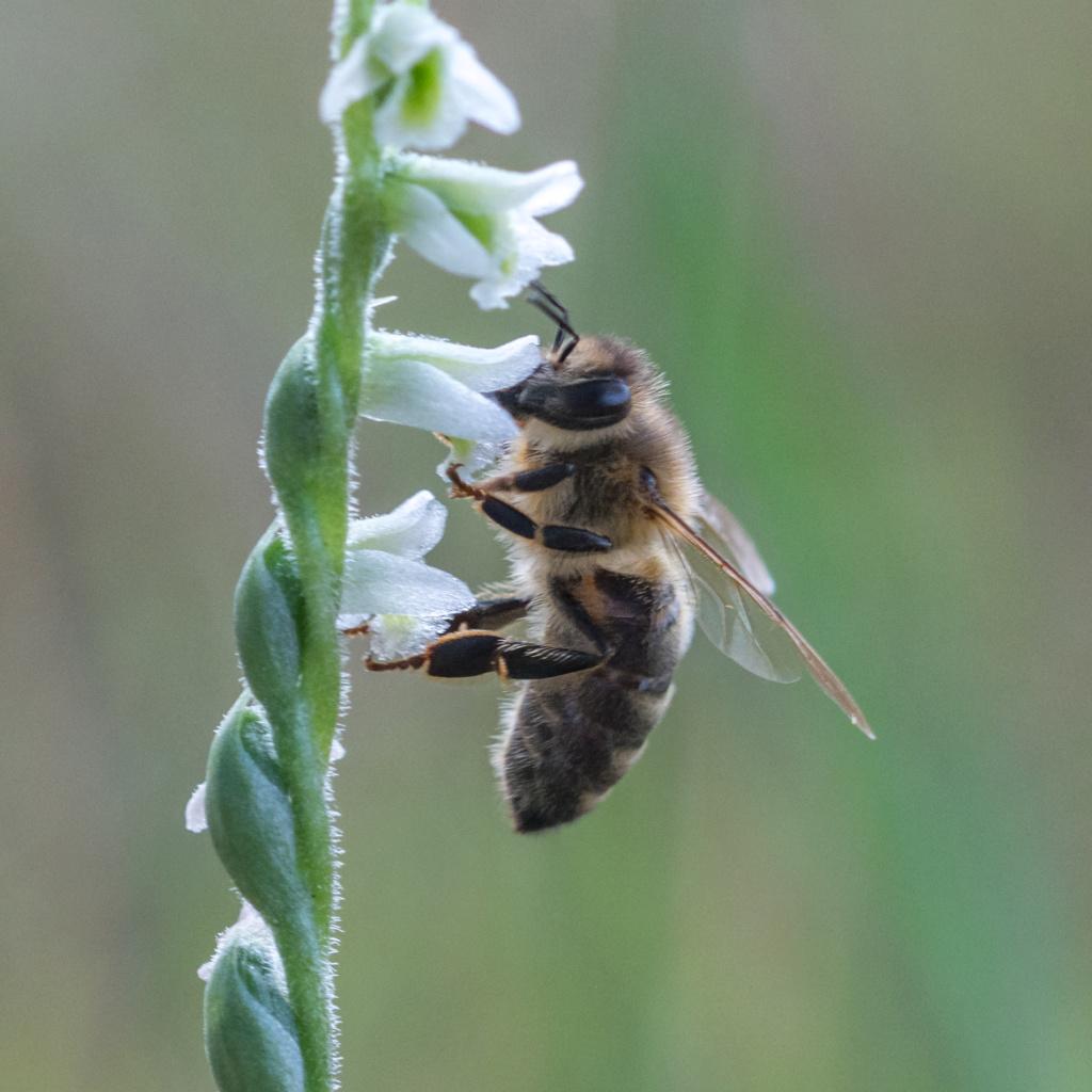 Spiranthe du Var et abeille domestique _dsc6115