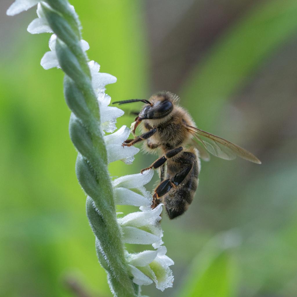 Spiranthe du Var et abeille domestique _dsc6212