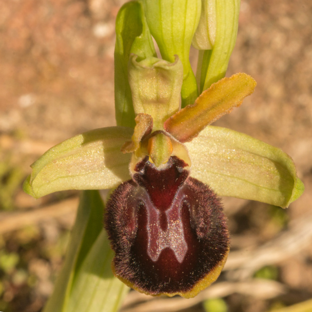 Ophrys passionis _dsc7611